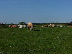 Die Kühe liegen gerne an diesem Platz - durch die leichte Erhöhung weht hier immer ein angenehmes Lüftchen.