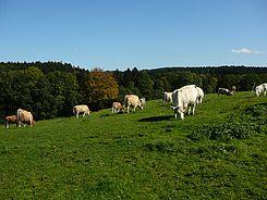 Die Kühe können selbst entscheiden, ob sie auf der Weide grasen oder sich im Stall aufhalten.