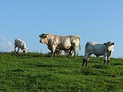 Ein Bulle begleitet die Herde und sorgt so für regelmässigen Nachwuchs.