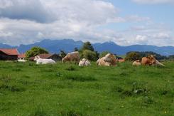 Grasende Rinder auf der Weide auf dem Demeter-Betrieb Anderlhof in Tinning bei Rosenheim